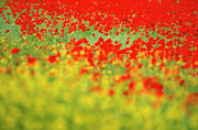 Blurred Motion Posters - Field of poppies. Poster by Bernard Jaubert