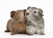 Animal Humor Posters - Guinea Pigs Poster by Mark Taylor