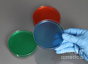 Agar Framed Prints - Hand Holding Petri Dish Framed Print by Photo Researchers
