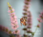 Bee In Flight Framed Prints - Honey Bee In Flight Framed Print by Ted Kinsman