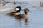 Lori Tordsen Art - Hooded merganser by Lori Tordsen