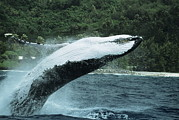 Water Filter Art - Humpback Whale Breaching by Alexis Rosenfeld
