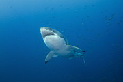 Ocean Photography Photos - Male Great White Shark, Guadalupe by Todd Winner