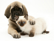 English Mastiffs Photos - Puppy And Kitten by Jane Burton