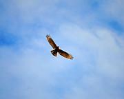Red Shouldered Hawk In Flight Print by Jai Johnson