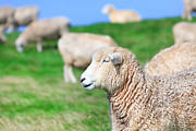 Pastureland Framed Prints - Sheeps Framed Print by MotHaiBaPhoto Prints