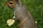 Squirrel Photos - Squirrel by Deepak Kumar