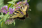 West Virginia Framed Prints - Tiger Swallowtail Framed Print by Road  Mosey