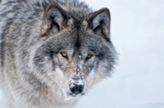 Black. Timber Wolf Photography Prints - Timber Wolf Print by Michael Cummings