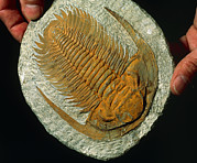 Moroccan Photos - Trilobite Fossil by Sinclair Stammers