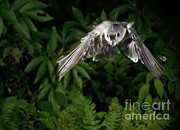 Songbirds Prints - Tufted Titmouse In Flight Print by Ted Kinsman