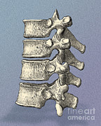 Quartet Posters - Vertebrae Poster by Science Source