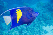 Pisces Photos - Yellowbar Angelfish by Georgette Douwma