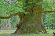 Huge Photo Prints - 800 Years Old Oak Tree  Print by Heiko Koehrer-Wagner