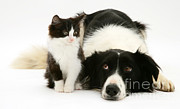 Collie Posters - Border Collie And Kitten Poster by Jane Burton