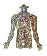 Cava Prints - Circulatory System, Artwork Print by Mehau Kulyk