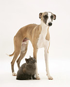 Whippet Prints - Dog And Kitten Print by Jane Burton