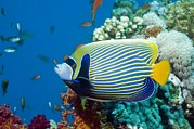 Reef Fish Posters - Emperor Angelfish Poster by Georgette Douwma
