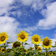 Sun In Cloud Prints - Field of sunflowers Print by Bernard Jaubert