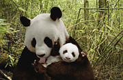 Communicating Posters - Giant Panda Ailuropoda Melanoleuca Poster by Katherine Feng