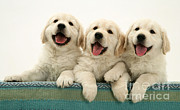 Gundog Posters - Golden Retriever Puppies Poster by Jane Burton
