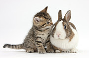 Cute Kitten Posters - Kitten And Rabbit Poster by Mark Taylor