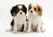 Spaniels Prints - Puppies Print by Jane Burton