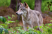Canine Prints - Timber Wolf Print by Michael Cummings