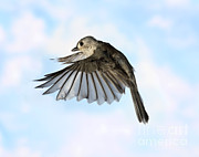 Songbirds Posters - Tufted Titmouse In Flight Poster by Ted Kinsman