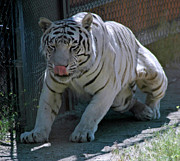 North America Photos - White Tiger by LeeAnn McLaneGoetz McLaneGoetzStudioLLCcom