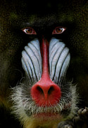 Mandrill Prints - 927 Print by Peter Holme III