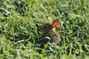 Shenandoah Valley Metal Prints - A Baby Cottontail Rabbit Sits Among Metal Print by George F. Mobley