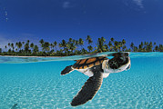 Sea Turtles Posters - A Baby Green Sea Turtle Swimming Poster by David Doubilet