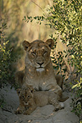 Roosting And Resting Posters - A Baby Lion, Panthera Leo, Rests Poster by Kim Wolhuter
