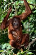 Orangutans Photos - A Baby Orangutan Pongo Pygmaeus Clings by Tim Laman