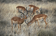 Serengeti Posters - A Bachelor Herd Of Male Impala Poster by Jason Edwards