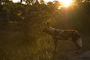 Wild Dog Posters - A Back Lit Wild Hunting Dog Poster by Roy Toft