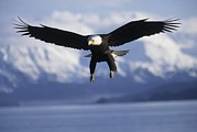 Animal Behavior Art - A Bald Eagle Descends Along The Shores by Paul Nicklen