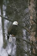 Fir Trees Prints - A Bald Eagle Haliaeetus Leucocephalus Print by Michael S. Quinton