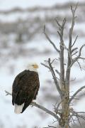 Gros Ventre Posters - A Bald Eagle Is Perched And Overlooking Poster by Drew Rush