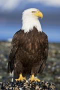 A Bald Eagle Print by John Hyde - Printscapes