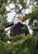 Nature Study Photo Prints - A Bald Eagle Print by Raven Regan