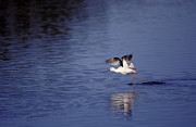 Legs Spread Prints - A Banded Stilt Running On Water Surface Print by Jason Edwards