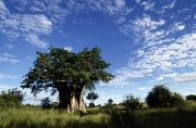 Baobab Posters - A Baobab Tree On The Savanna Of Kruger Poster by Tim Laman