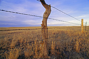 Old Fence Posts Metal Prints - A Barbed Wire Fence Stretches Metal Print by Gordon Wiltsie