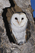 Barn Owls Prints - A Barn Owl In Its Roost In A Hollow Print by Jason Edwards