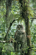 Roosting And Resting Prints - A Barred Owl Perches On A Tree Branch Print by Klaus Nigge