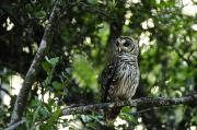 Barred Owls Photos - A Barred Owl Sitting On A Tree Branch by Raul Touzon
