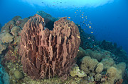 New Britain Prints - A Barrel Sponge Attached To A Reef Print by Steve Jones
