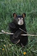 Black Bear Photos - A Bear Cub Montana, Usa by David Ponton